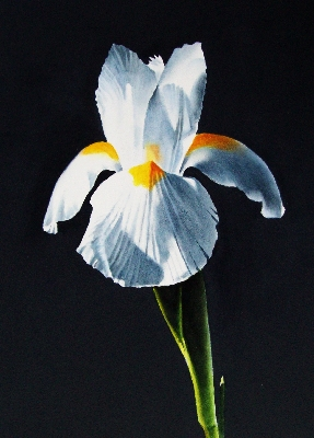 """White Iris on Navy"" original fine art by Jacqueline Gnott, TWSA, WHS"