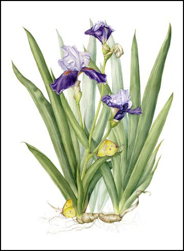 """Botanical Fine Art Painting, Nature,Butterfly PURPLE IRIS & CLOUD SULFUR BUTTERFLY The Art of Natu"" original fine art by Mindy Lighthipe"