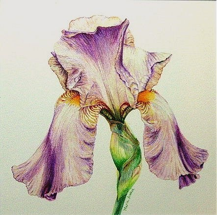 """Iris in Pink"" original fine art by Maria Levandowski"