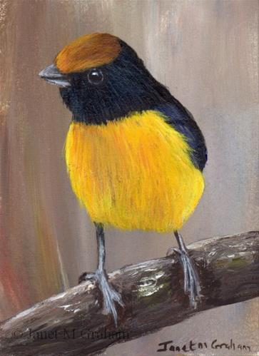 """Tawny Capped Euphonia ACEO"" original fine art by Janet Graham"