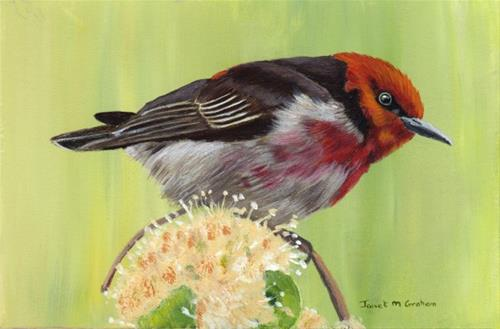 """Scarlet Honeyeater"" original fine art by Janet Graham"
