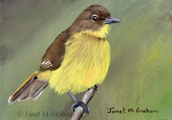 """Yellow Bellied Greenbul ACEO"" original fine art by Janet Graham"