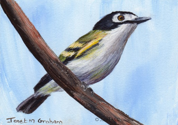 """Black Capped Vireo ACEO"" original fine art by Janet Graham"