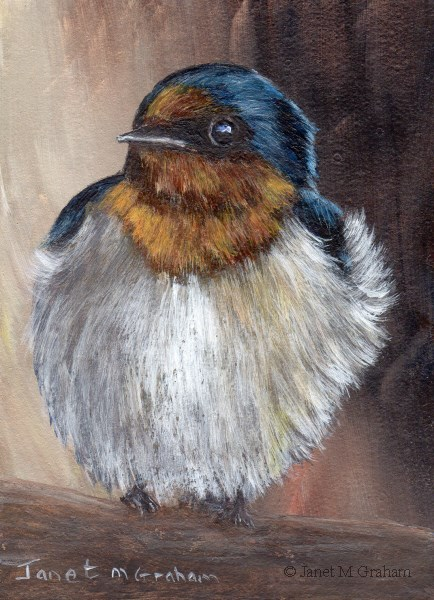 """Welcome Swallow ACEO"" original fine art by Janet Graham"