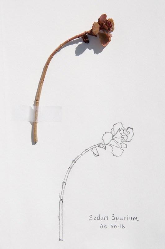 """""""Daily Sketch: Stonecrop"""" original fine art by Debbie Lamey-Macdonald"""