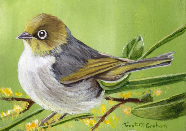 """Silvereye ACEO"" original fine art by Janet Graham"