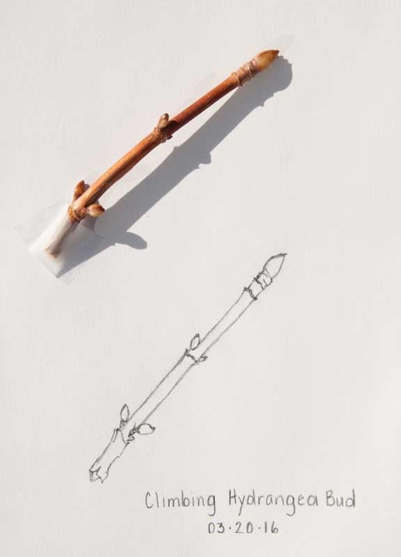 """Daily Sketch: Hydrangea Bud"" original fine art by Debbie Lamey-Macdonald"