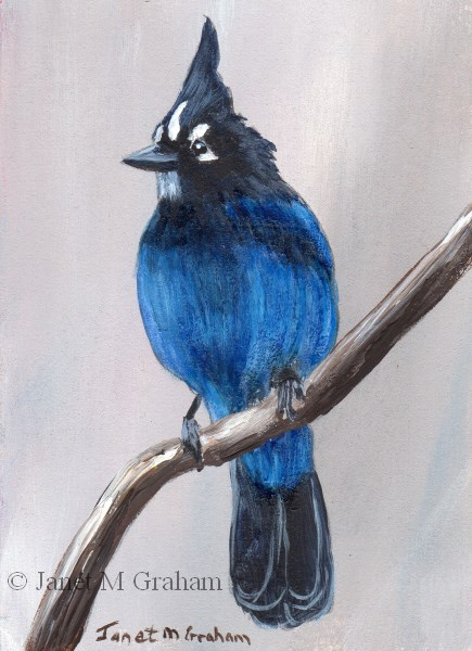 """Steller's Jay ACEO"" original fine art by Janet Graham"