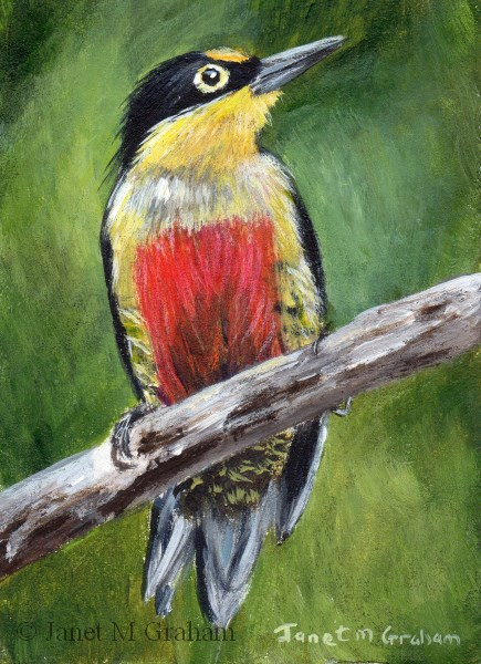 """Yellow Fronted Woodpecker ACEO"" original fine art by Janet Graham"