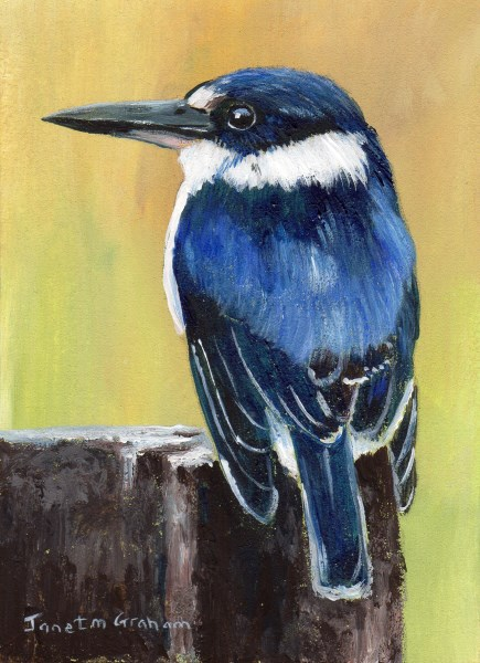 """Forest Kingfisher ACEO"" original fine art by Janet Graham"