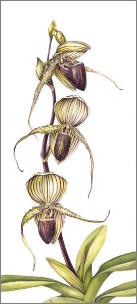 """Botanical Fine Art Painting, STRIPED PAJAMAS The Art of Nature, Fine Art by Mindy Lighthipe"" original fine art by Mindy Lighthipe"