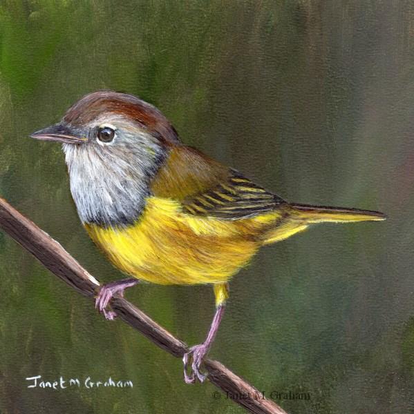 """Macgillivray's Warbler"" original fine art by Janet Graham"