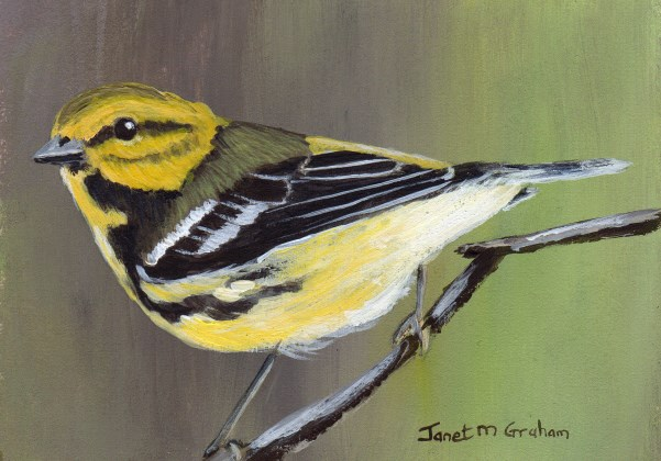 """Black Throated Green Warbler ACEO"" original fine art by Janet Graham"