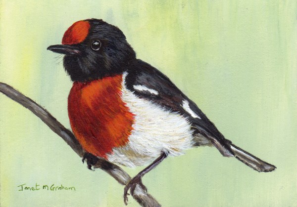 """Red-Capped Robin ACEO"" original fine art by Janet Graham"