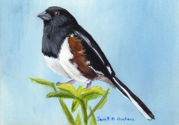 """Eastern Towhee ACEO"" original fine art by Janet Graham"