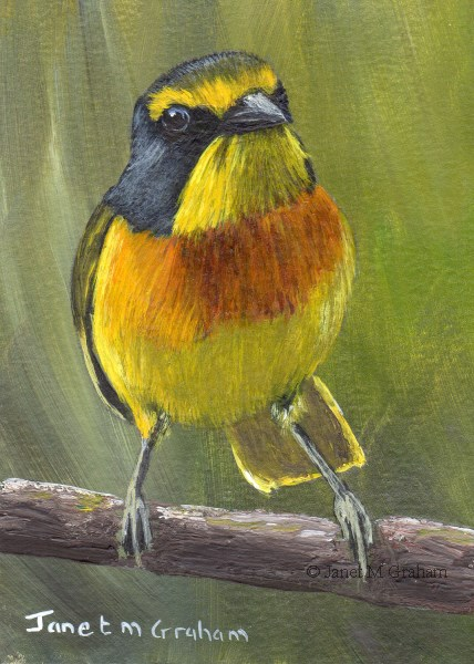 """Sulphur Breasted Bushshrike ACEO"" original fine art by Janet Graham"