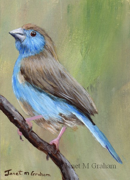 """Blue Waxbill ACEO"" original fine art by Janet Graham"