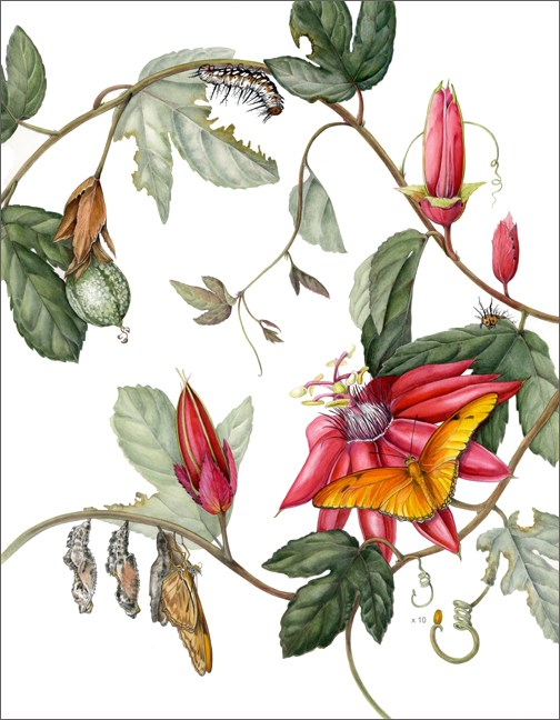 """Botanical Fine Art Painting, Nature, Insect  JULIA BUTTERFLY AND PASSIFLORA MANICATA The Art of Na"" original fine art by Mindy Lighthipe"
