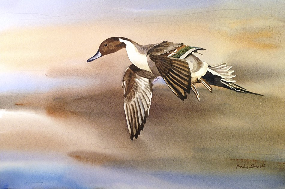 """D is for Duck (Pintail)"" original fine art by Andy Sewell"