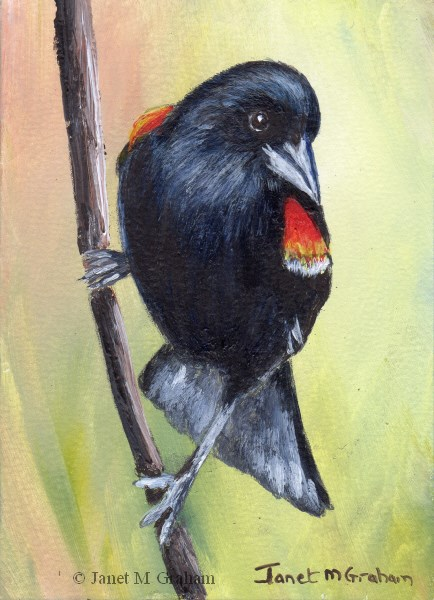 """Red Winged Blackbird ACEO"" original fine art by Janet Graham"