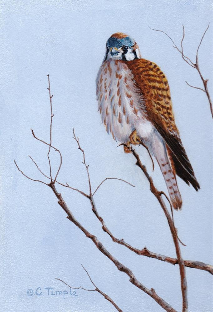 """Female Kestrel"" original fine art by Catherine Temple"