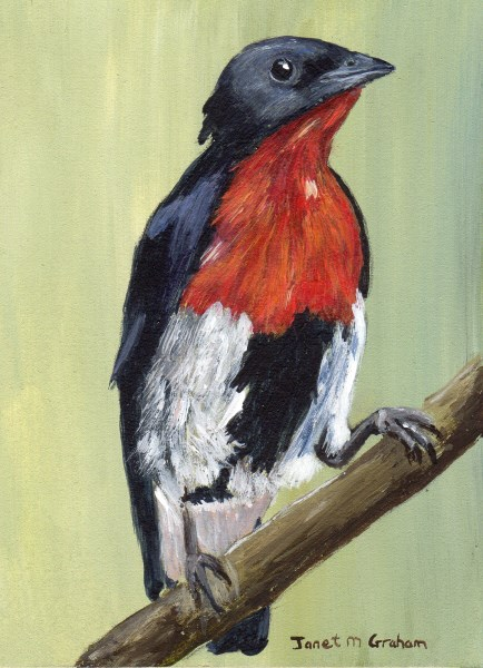 """Mistletoebird ACEO"" original fine art by Janet Graham"