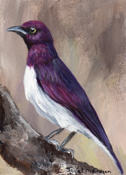 """Violet Backed Starling ACEO"" original fine art by Janet Graham"