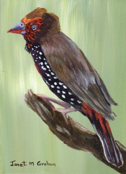 """Painted Firetail ACEO"" original fine art by Janet Graham"