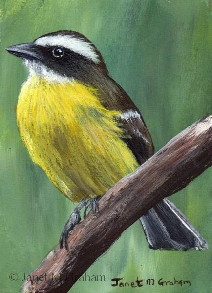 """Social Flycatcher ACEO"" original fine art by Janet Graham"