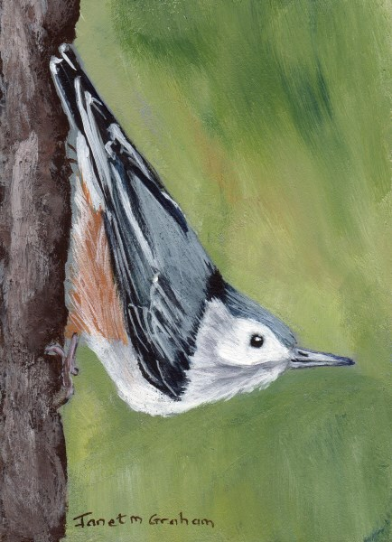"""White Breasted Nuthatch ACEO"" original fine art by Janet Graham"