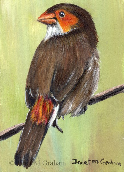 """Orange Cheeked Waxbill ACEO"" original fine art by Janet Graham"