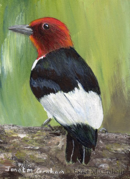 """Red Headed Woodpecker ACEO"" original fine art by Janet Graham"