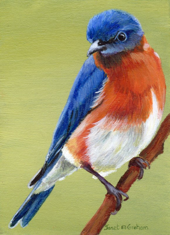 """Eastern Bluebird ACEO"" original fine art by Janet Graham"