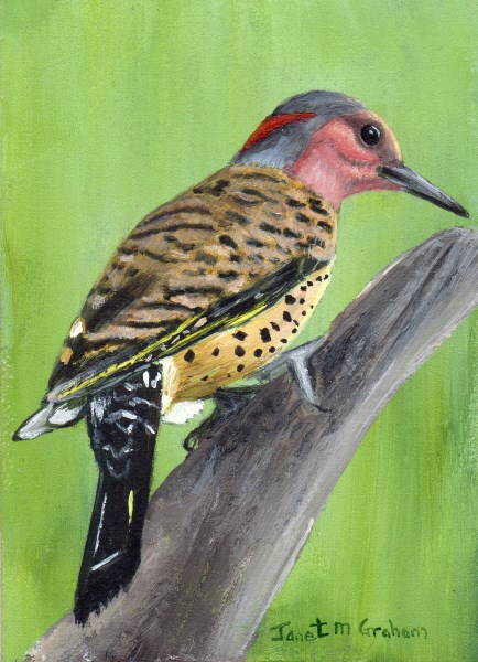 """Northern Flicker ACEO"" original fine art by Janet Graham"