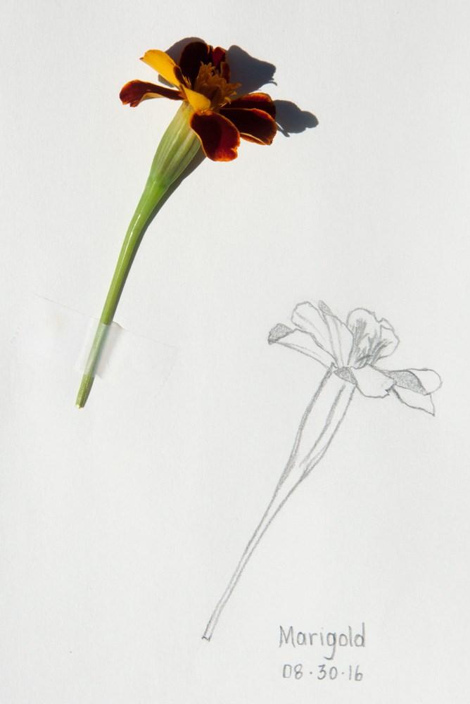 """Daily Sketch: Marigold"" original fine art by Debbie Lamey-Macdonald"