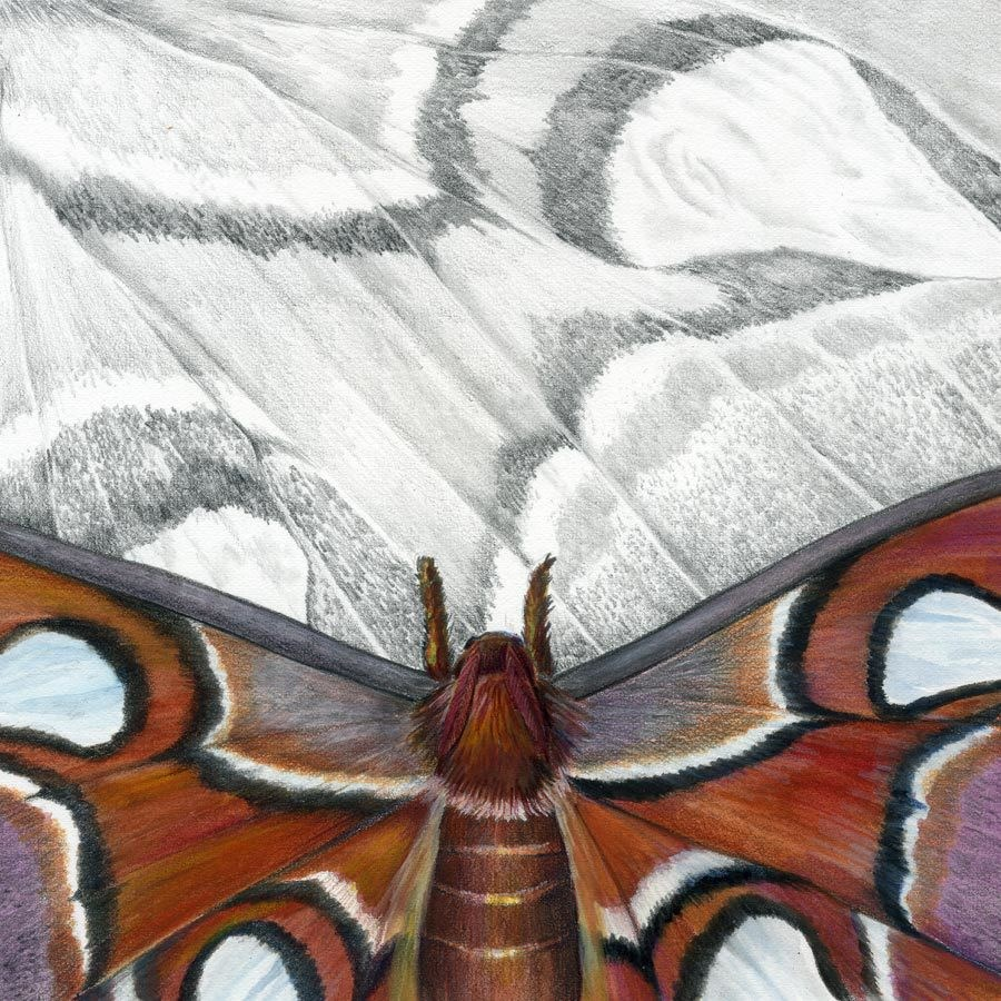"""Nature Fine Art Painting, Insect Atlas Moth The Art of Nature, Fine Art by Mindy Lighthipe"" original fine art by Mindy Lighthipe"