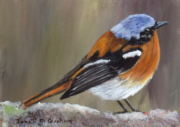 """Eversmann's Redstart ACEO"" original fine art by Janet Graham"