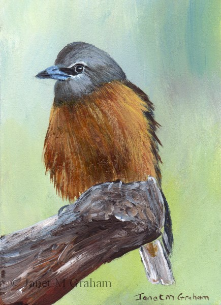 """White Browed Woodswallow ACEO"" original fine art by Janet Graham"