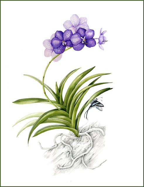 """Botanical Fine Art Painting, Butterfly,Nature PURPLE VANDA The Art of Nature, Fine Art by Mindy Li"" original fine art by Mindy Lighthipe"