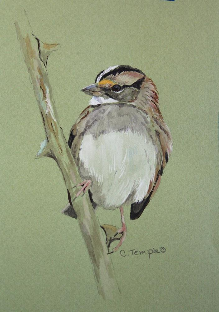 """White-throated Sparrow"" original fine art by Catherine Temple"