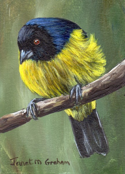"""Hooded Mountain Tanager ACEO"" original fine art by Janet Graham"