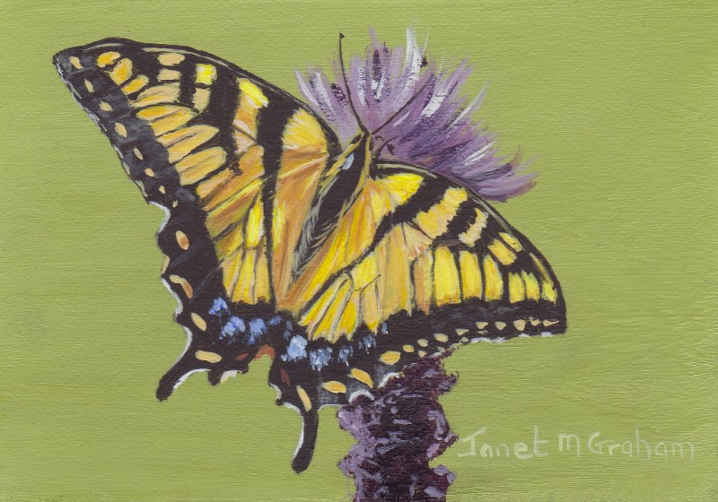 """Eastern Tiger Swallowtail Butterfly ACEO"" original fine art by Janet Graham"