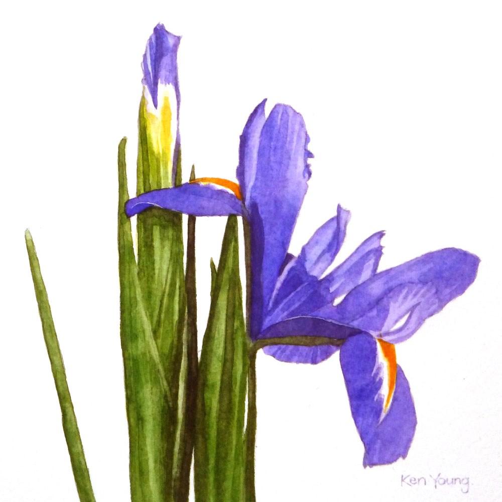 """""""An Iris Slowly Opens"""" original fine art by Ken Young"""