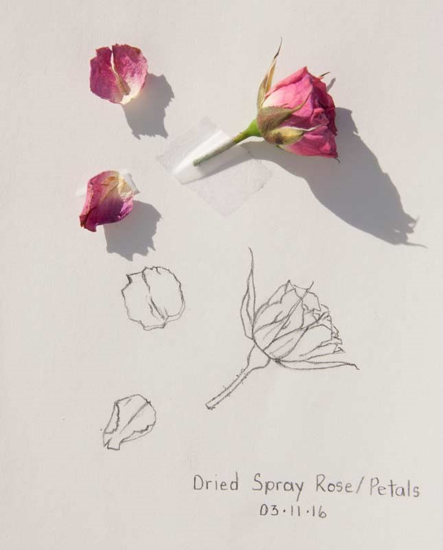 """Daily Sketch: Dried Spray Rose/Petals"" original fine art by Debbie Lamey-Macdonald"
