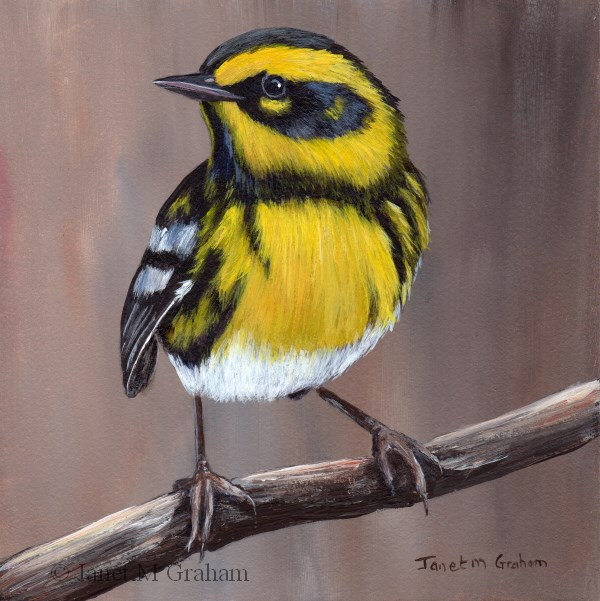 """Townsend's Warbler"" original fine art by Janet Graham"