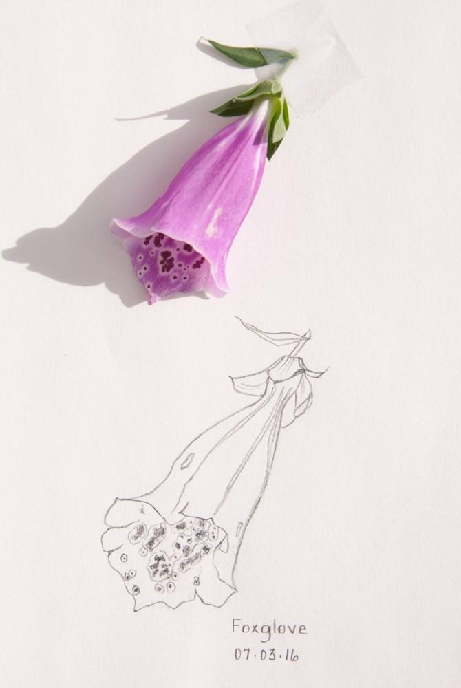 """Daily Sketch: Foxglove"" original fine art by Debbie Lamey-Macdonald"