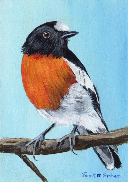"""Scarlet Robin ACEO"" original fine art by Janet Graham"