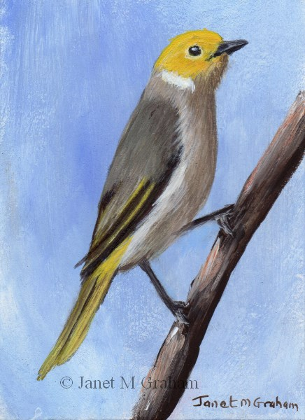 """White Plumed Honeyeater ACEO"" original fine art by Janet Graham"