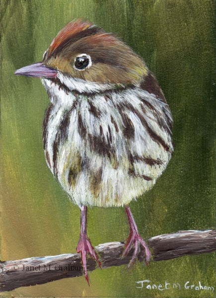 """Ovenbird ACEO"" original fine art by Janet Graham"