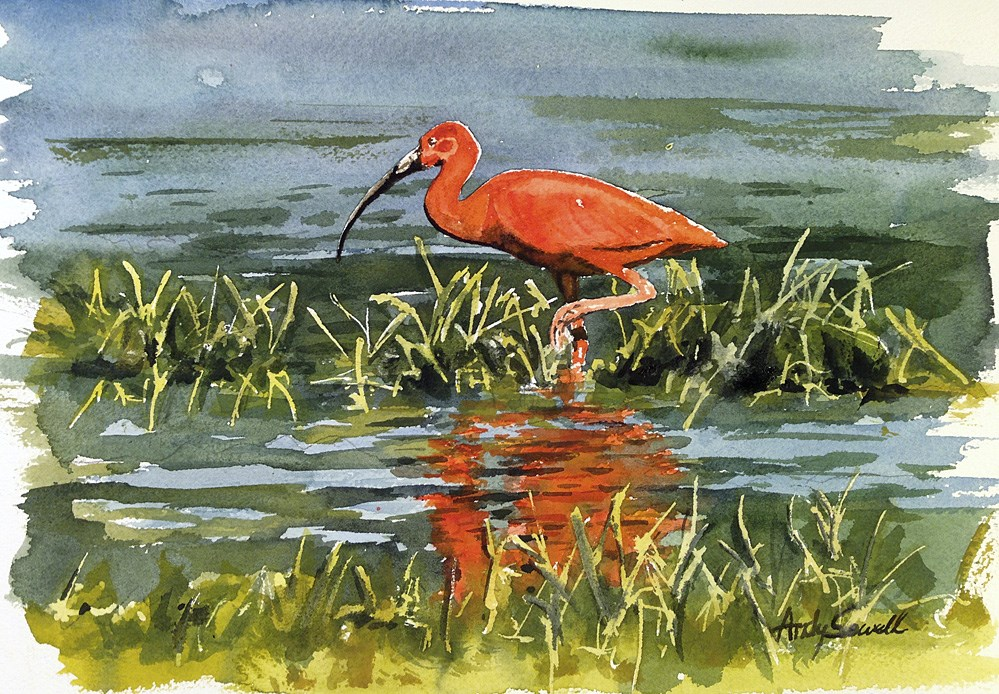 """Ibis_Scarlet"" original fine art by Andy Sewell"